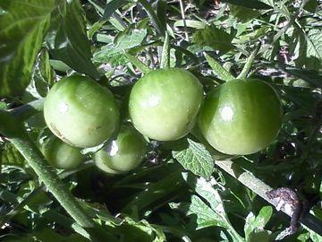 鴨川のプチトマト1