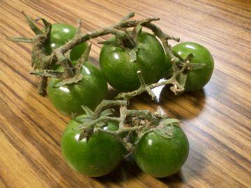 鴨川のプチトマト4