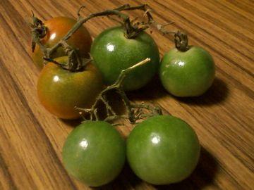 鴨川のプチトマト5