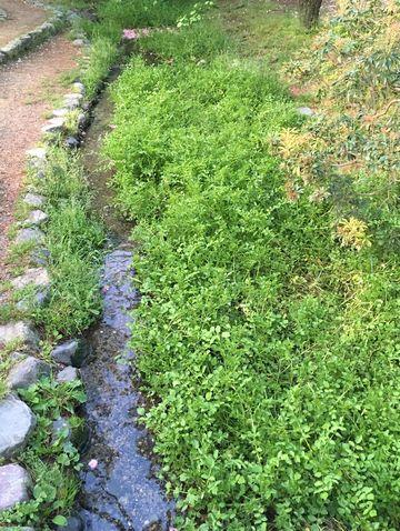 京都御苑のクレソン畑