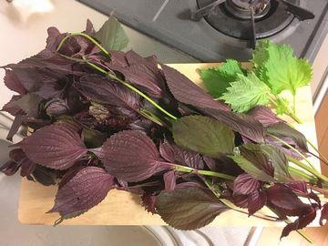 収穫した鴨川の赤紫蘇