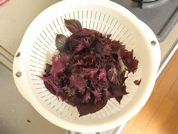 洗った赤紫蘇