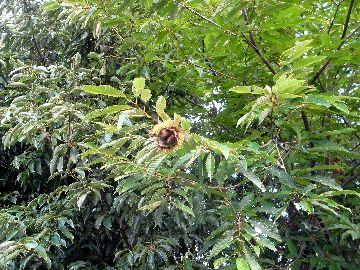 栗の木を発見!