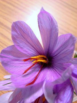 サフランの花拡大