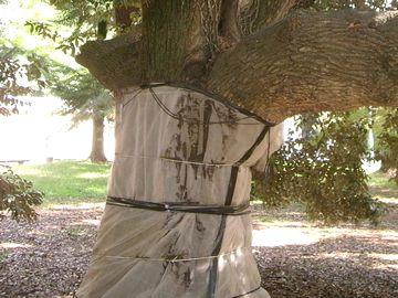 ビニールシートで保護されたドングリの木
