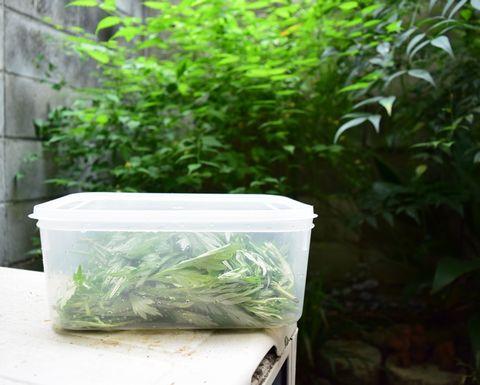ヨモギのおにぎりトラップを庭に放置