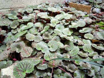 庭のユキノシタ