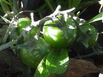 鴨川のプチトマト3