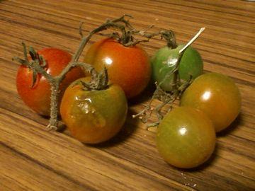 2週間熟させたプチトマト