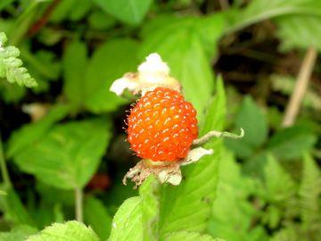 野イチゴ1