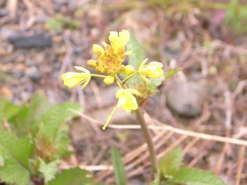 咲いてる菜の花