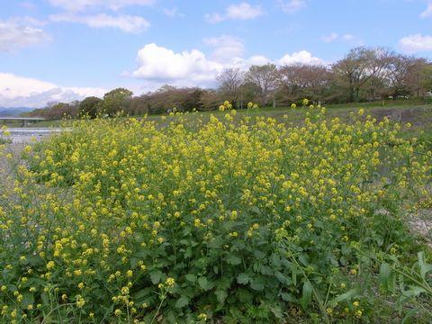 鴨川の菜の花