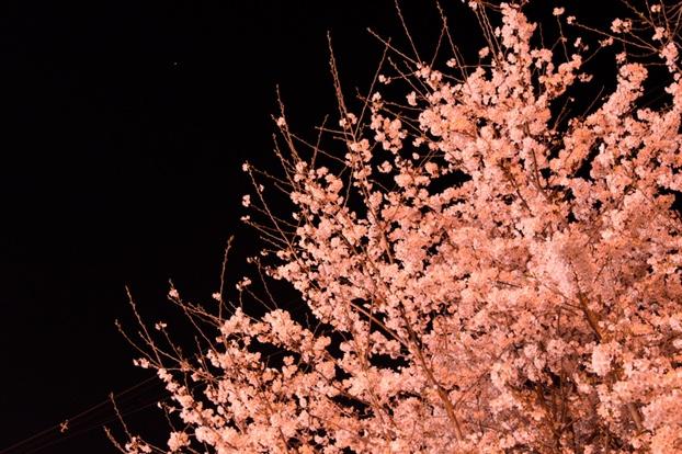 オレンジっぽい夜桜