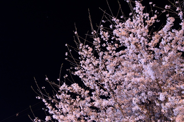 美しい夜桜