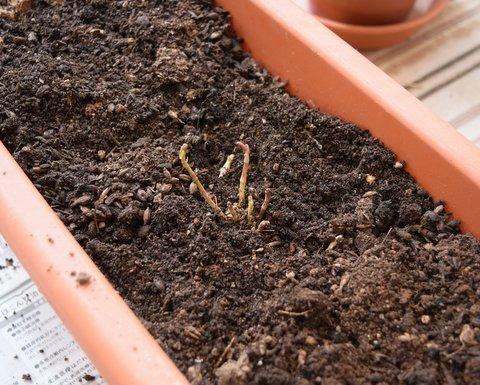 植え替えたホップの苗