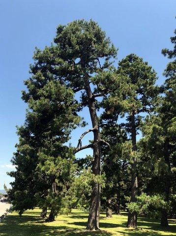 京都御苑の松の木