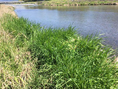 鴨川のススキ