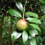 椿油の作り方